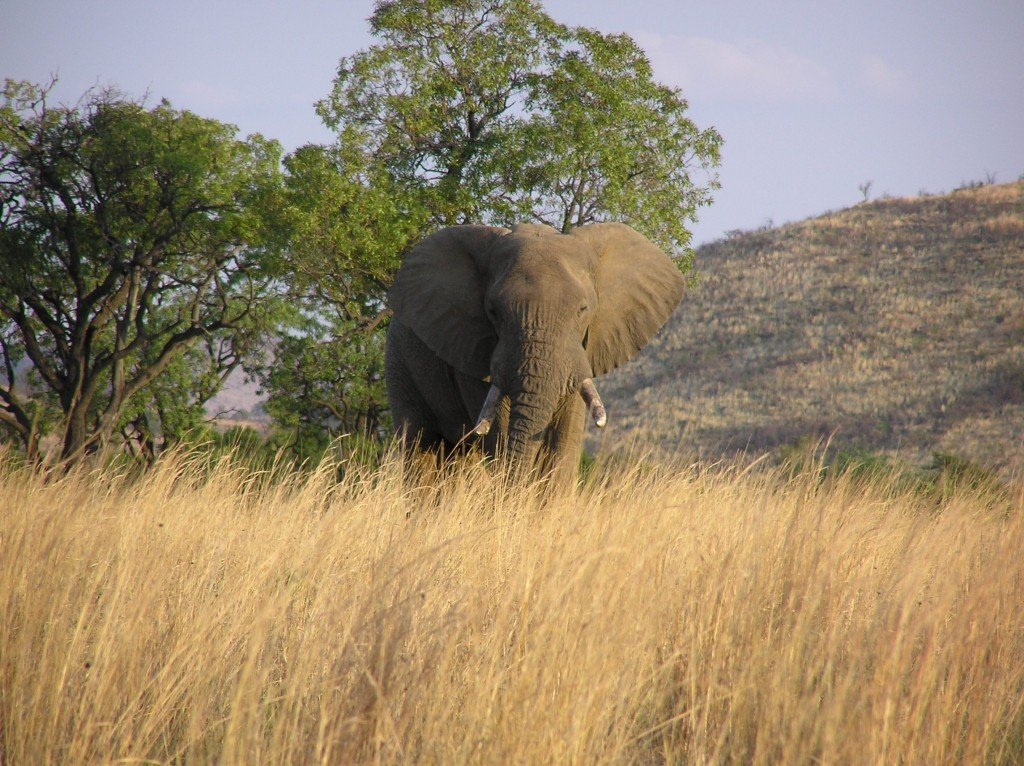 Bull Elephant in Pilanesberg National Park, South Africa
