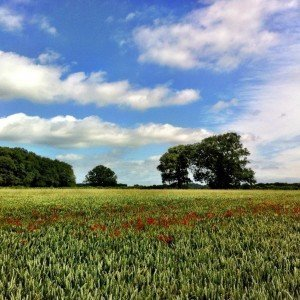 Poppies in a wheat field  wont be long beforehellip