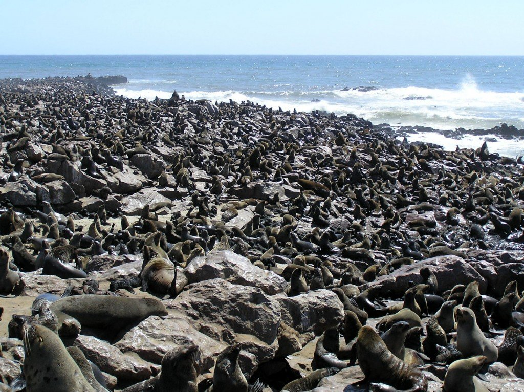 the cape cross seal colony in namibia. Black Bedroom Furniture Sets. Home Design Ideas