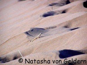 Desert gecko, Sesriem, Namibia