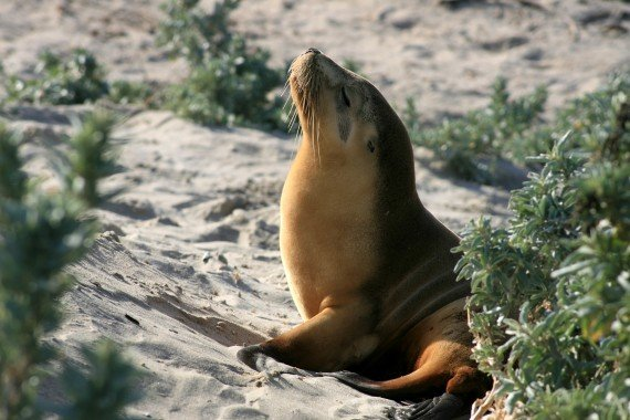 Kangaroo Island Seal Bay sea lion colony, Australia