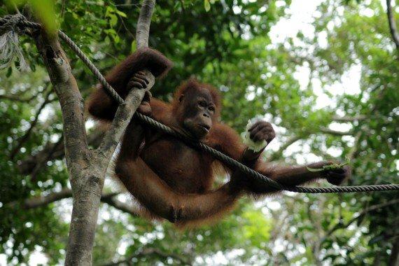 Orang-utans in Borneo at the Rasia Ria Nature Reserve in Sabah, Malaysia