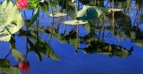 Kakadu National Park waterlilies
