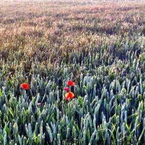 Poppies in a young wheat field summerevenings onmywalktoday wanderingkiwi herfordshirebeautyhellip