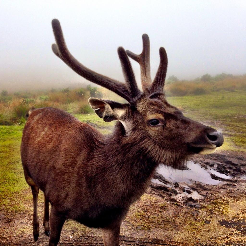 Sambar deer World's End Walk Horton Plains Sri Lanka
