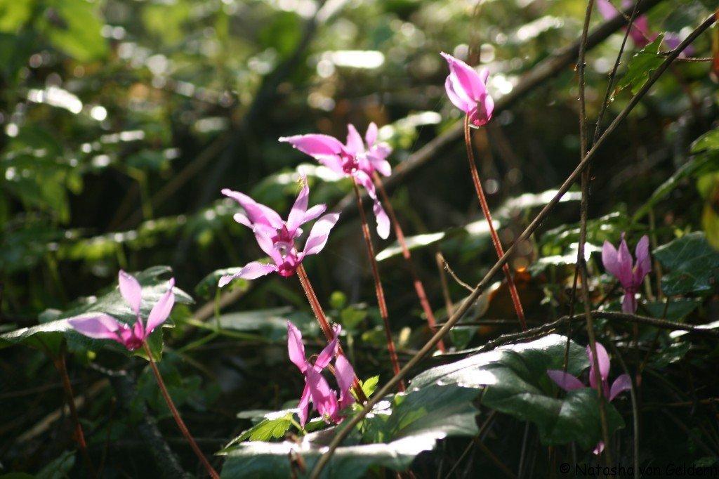 Corsica wildflowers