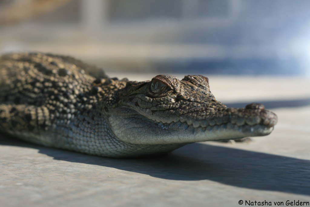 Crocodiles, Darwin, Australia