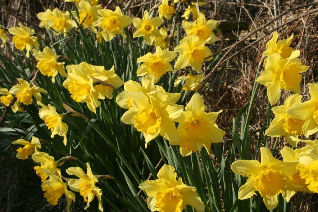 English Lake District daffodils image