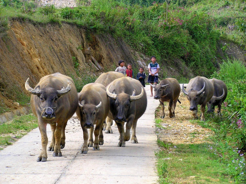 Children-herding-water-buffalo-Vietnam