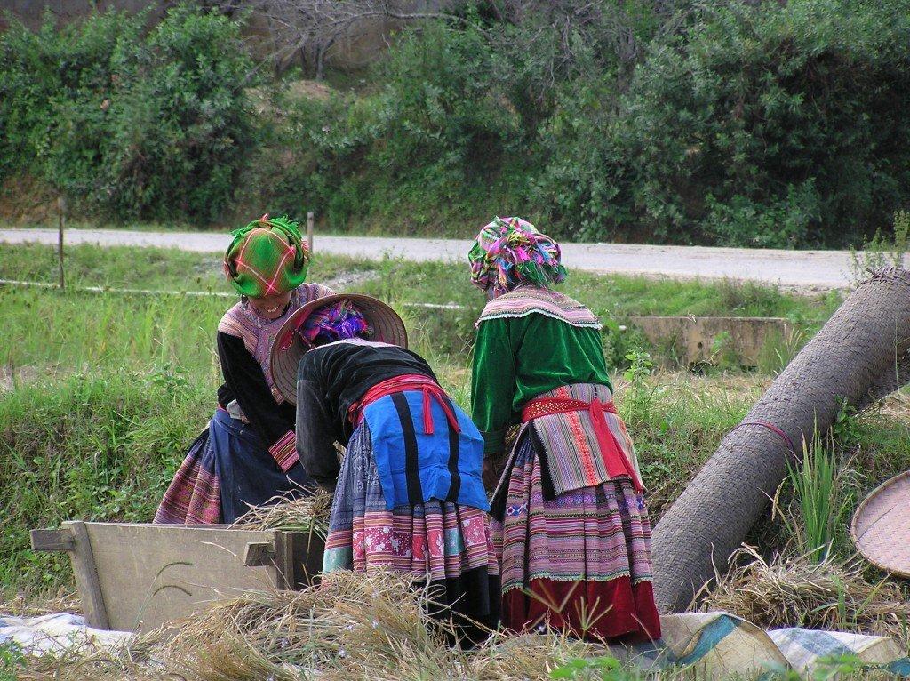 Flower-Hmong-threshing