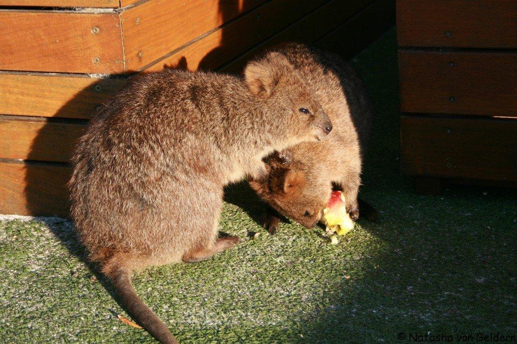 Quokkas, Rottnest Island, Australia