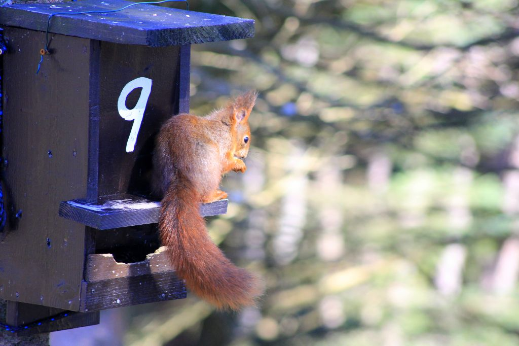 Red squirrel, Norway