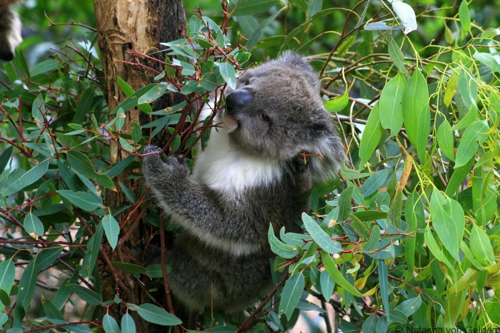 Koala, Healesville Sanctuary Australia