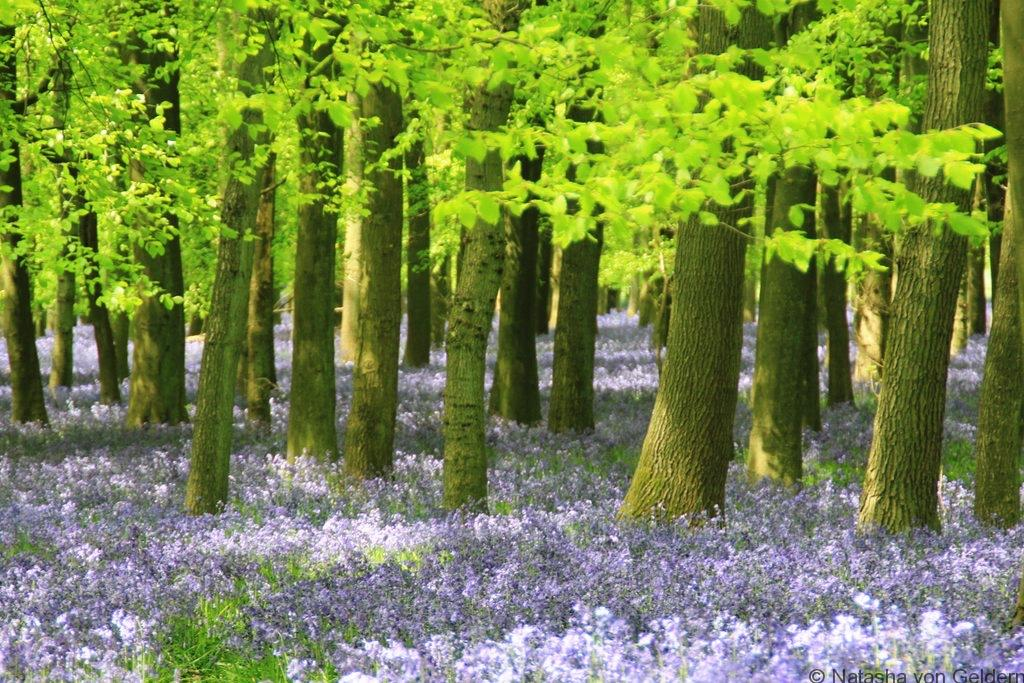 Bluebell Woods England