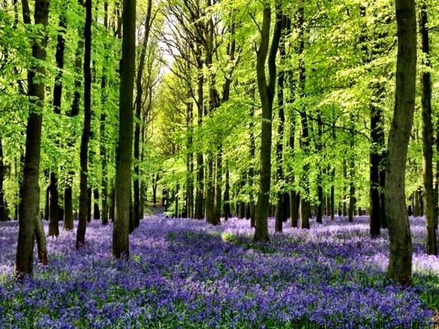 Bluebell Woods in Ashridge
