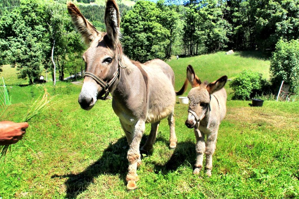 donkeys-on-the-tour-du-mt-blanc