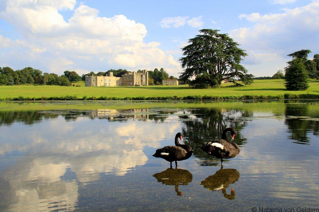 Black swans of Leeds Castle England