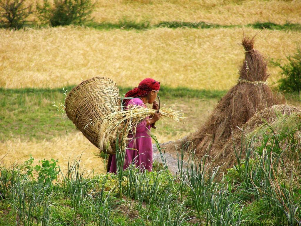 Harvesting in Kareri Village India