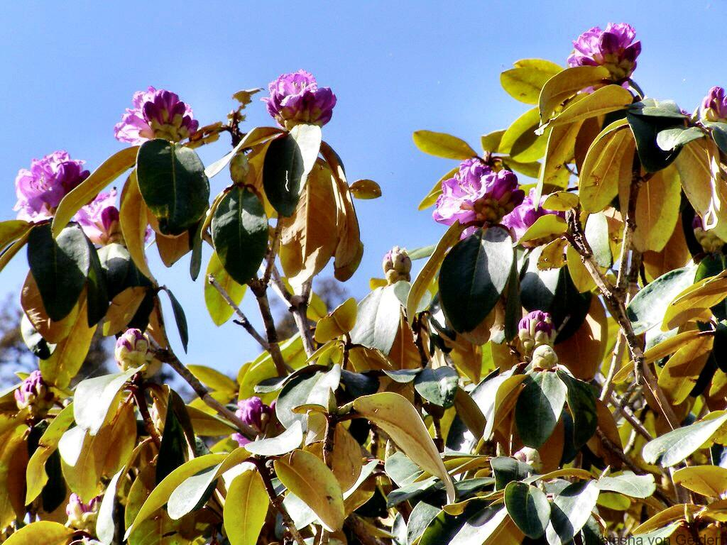 Rhododendron flowers trekking in Himchal Pradesh India