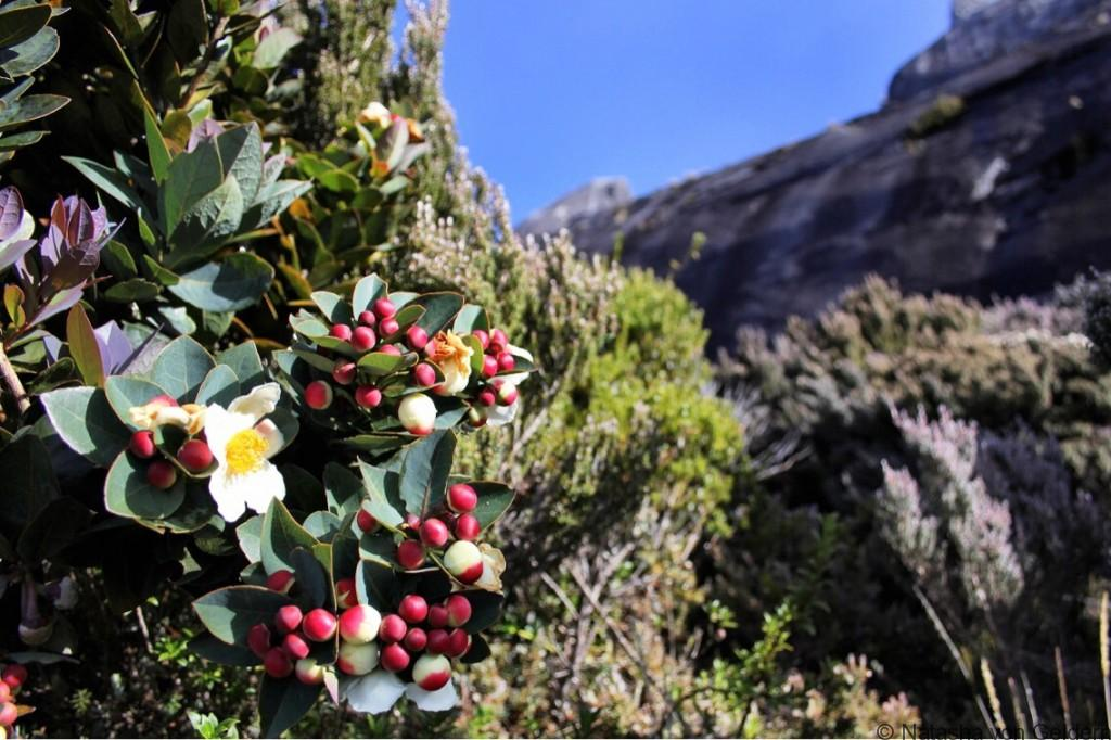 Flowers on Mt Kinabalu Malaysia Borneo