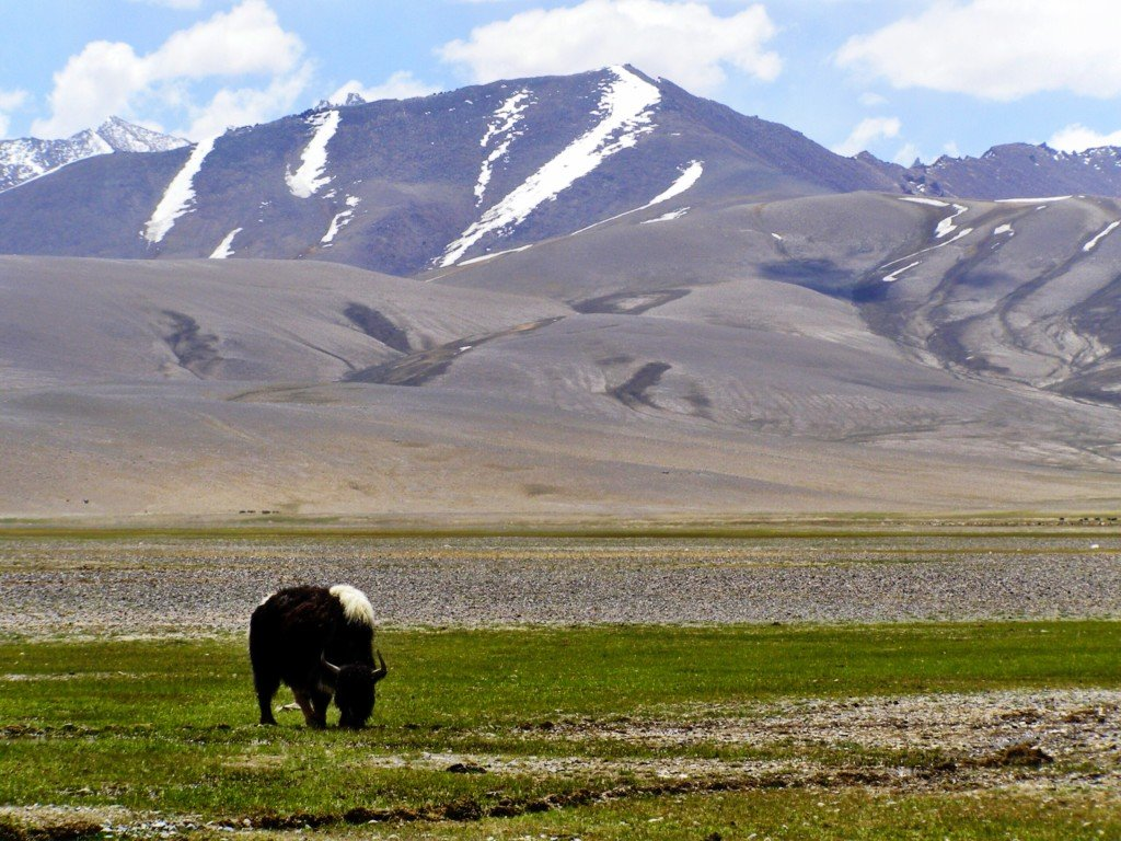 Yak on the Pamir Highway Tajikistan